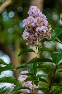 CREPE MYRTLE BLOOM - LAVENDER