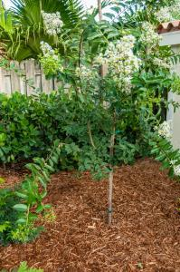 CREPE MYRTLE TREE - WHITE