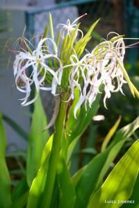 CRINUM LILY BLOOM