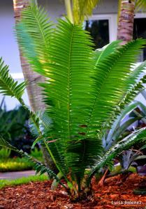 DIOON CYCAD